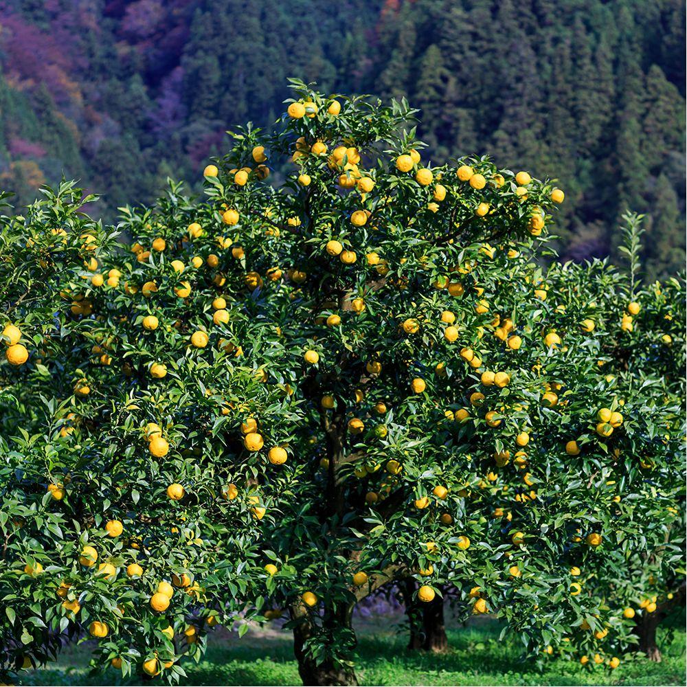 Yuzu plantes et jardins for Plantes et jardins