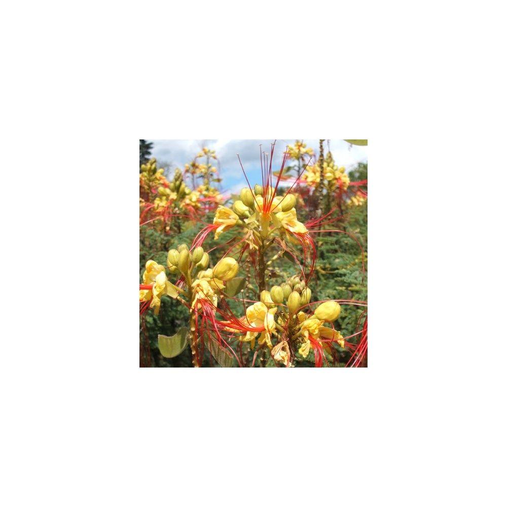 Caesalpinia gilliesii plantes et jardins for Plantes et jardins adresse