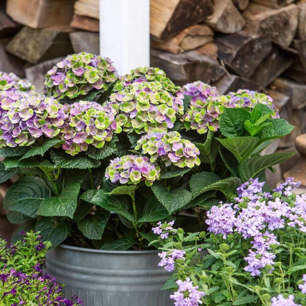 hortensia magical 39 coral 39 bleu plantes et jardins. Black Bedroom Furniture Sets. Home Design Ideas