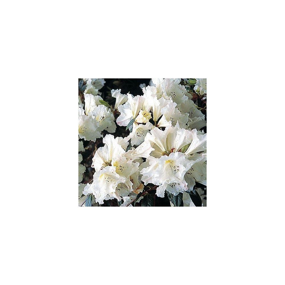 Rhododendron nain 'Fragrantissimum' - Plantes et Jardins