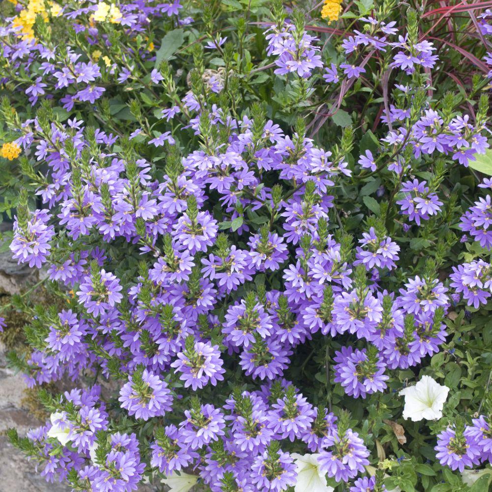 Scaevola flowersun bleu plantes et jardins for Fleurs jaunes jardin vivace