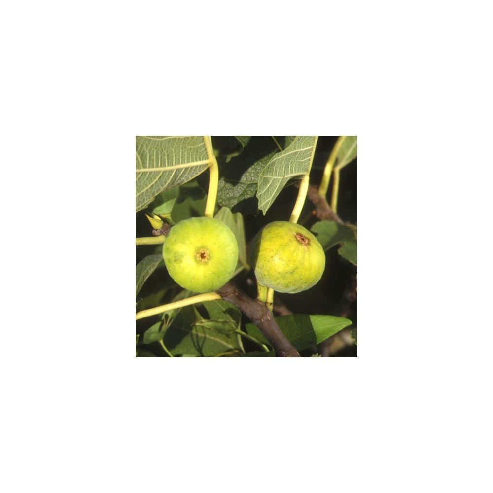 Figuier 'Blanquette' : taille gobelet, en pot de 12 L - Plantes et Jardins