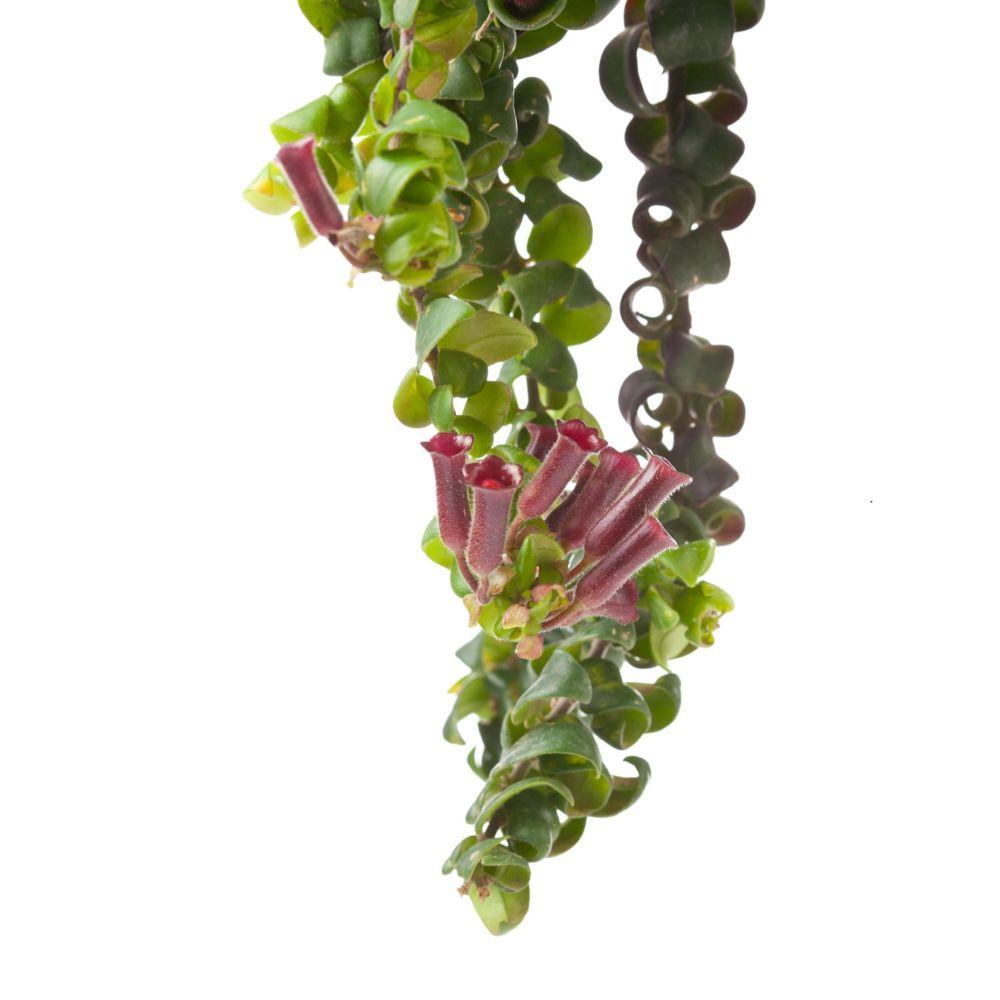 aeschynanthus 39 scoubidou 39 plantes et jardins. Black Bedroom Furniture Sets. Home Design Ideas