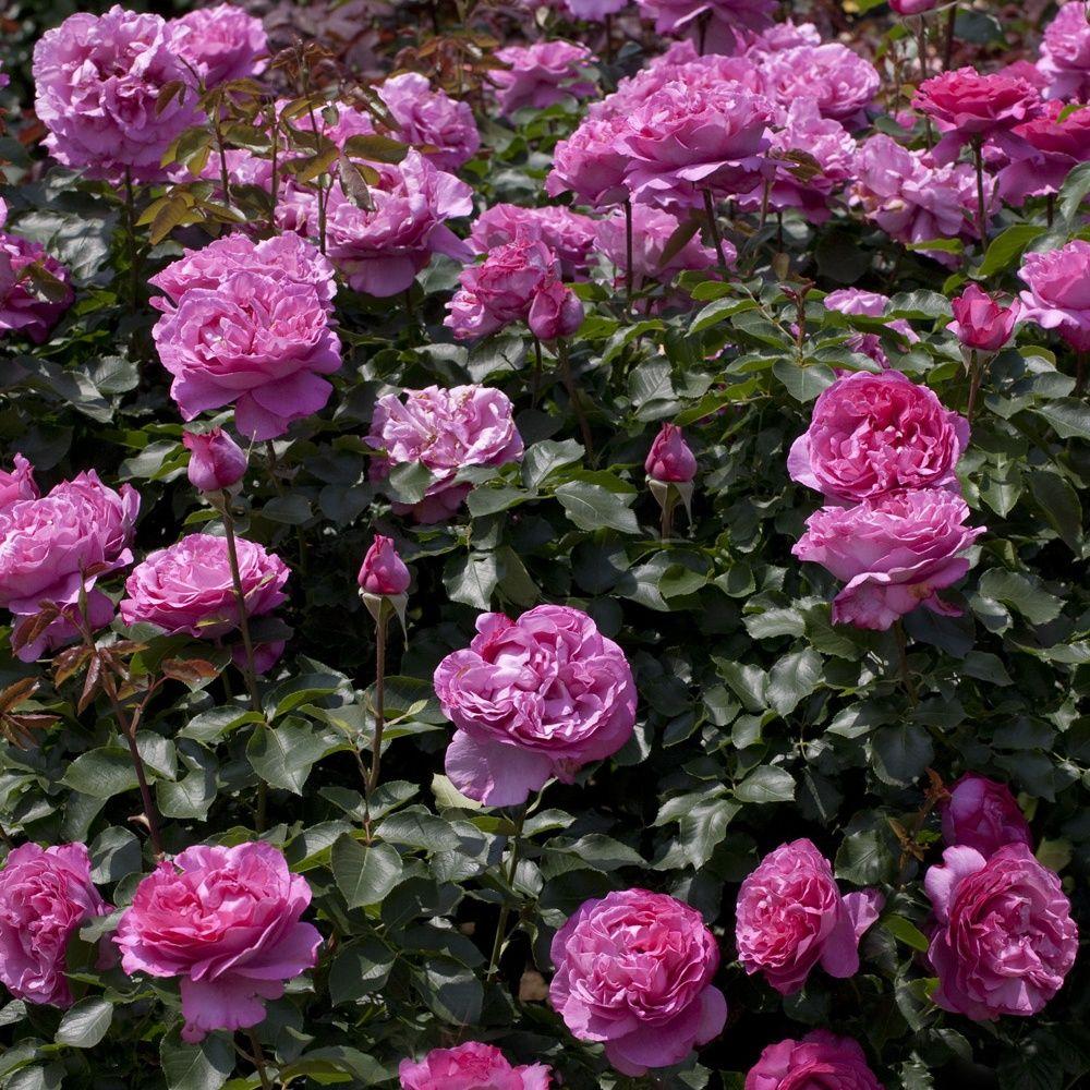 Rosier grimpant 39 yves piaget 39 keitsupiatsu rosier meilland plantes et jardins - Planter un rosier grimpant ...