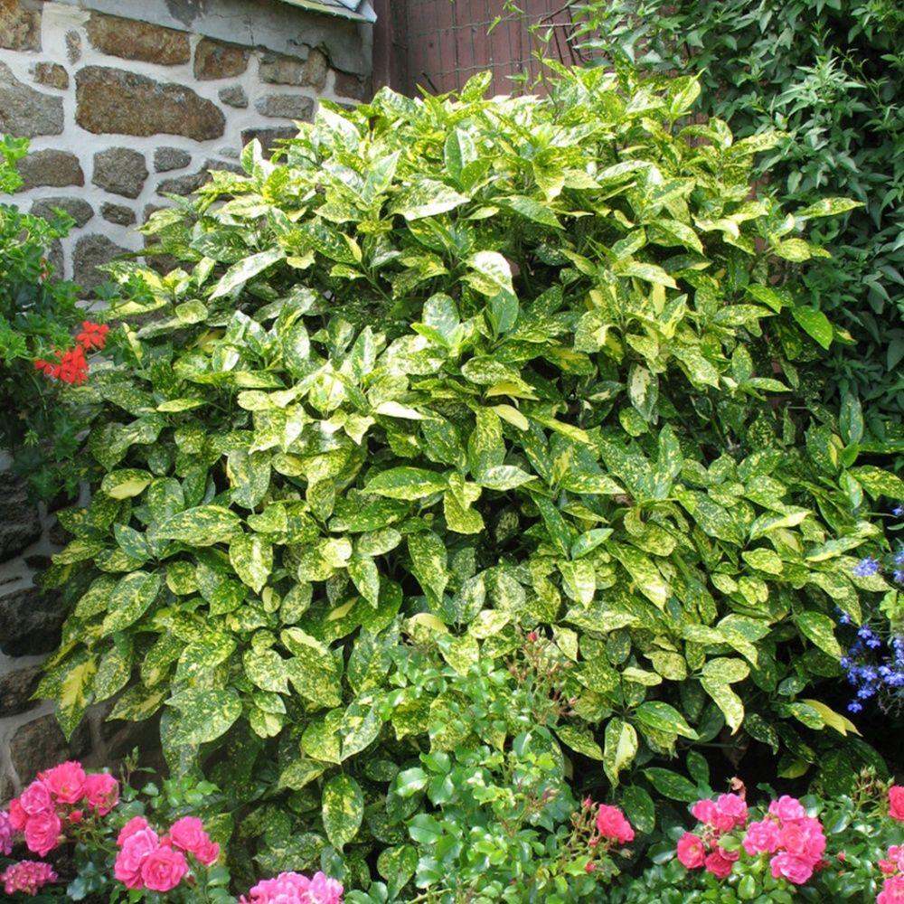 Aucuba du japon 39 crotonaefolia 39 plantes et jardins for Plantes et arbustes de jardin