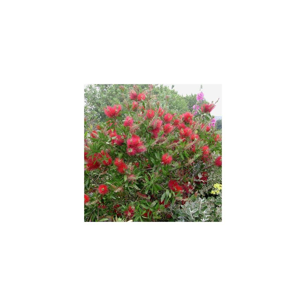 Rince bouteille callistemon laevis plantes et jardins for Plante rince bouteille