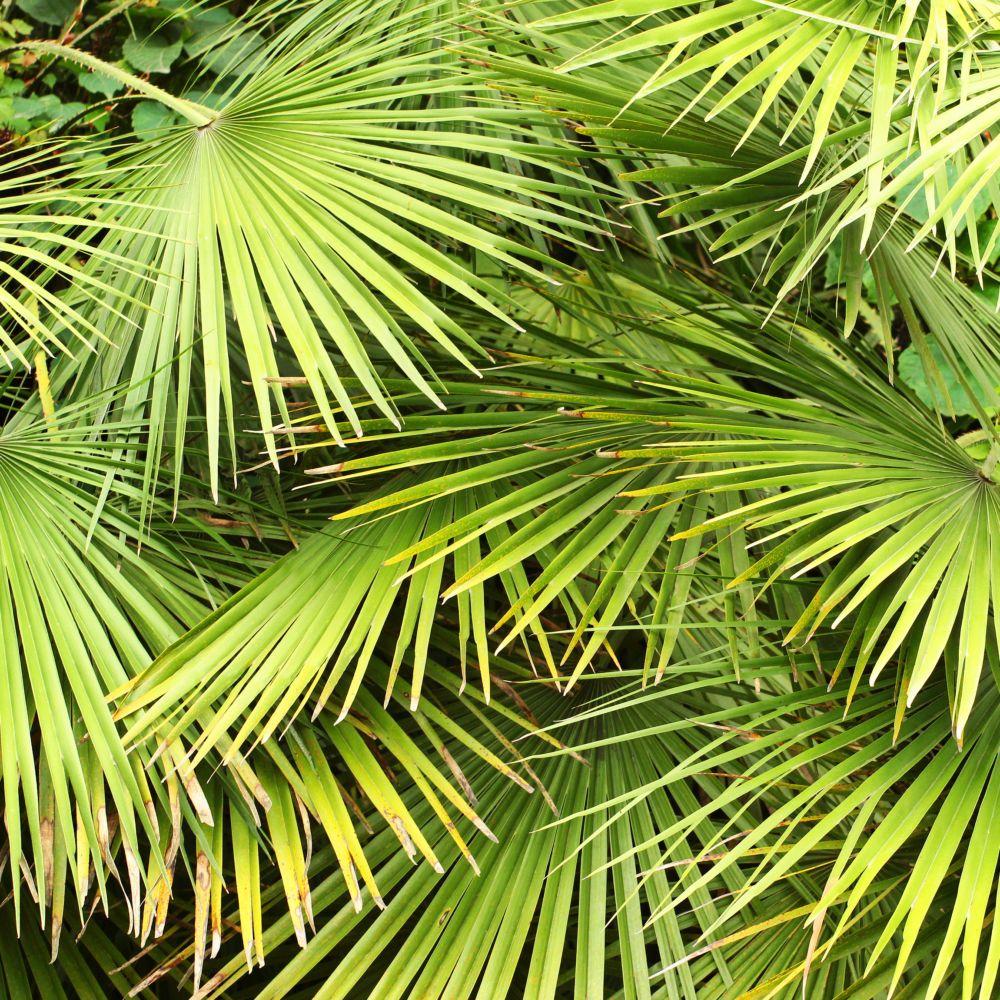 Palmier nain plantes et jardins for Plante palmier