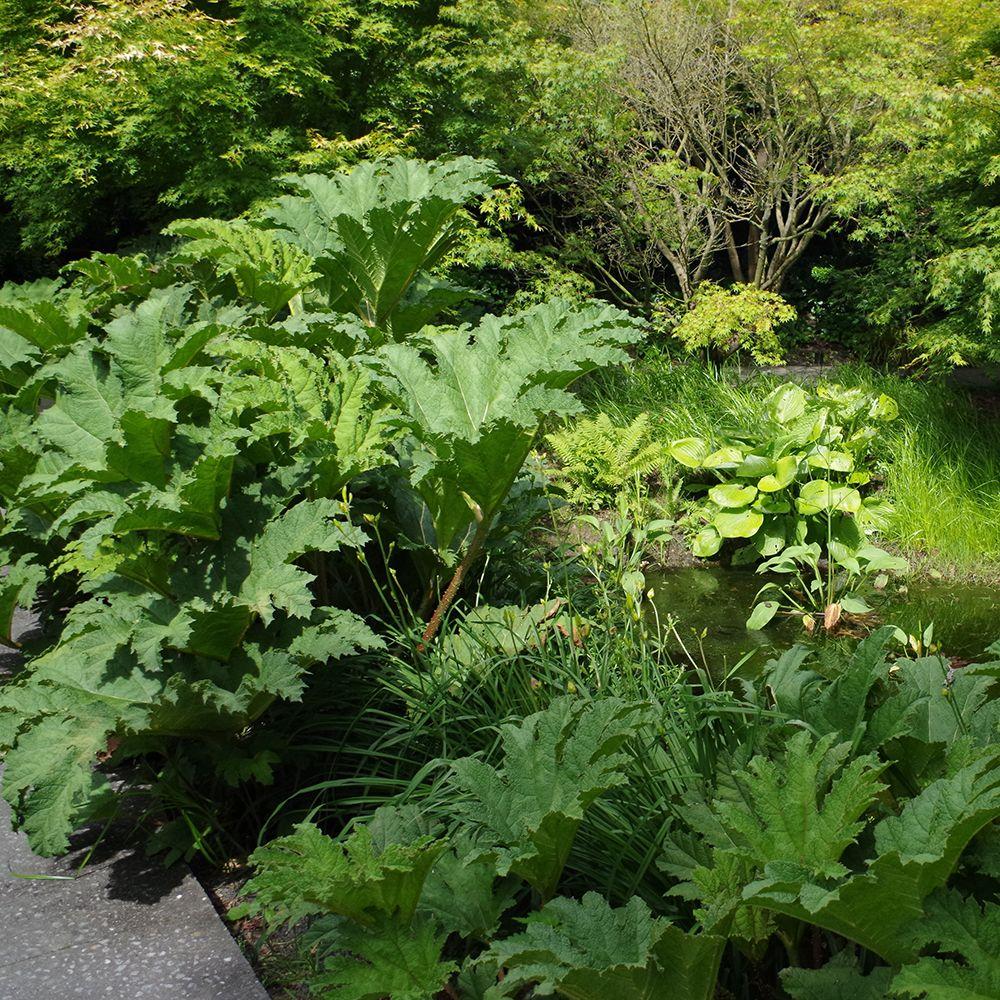 Gunnera manicata plantes et jardins for Plante et jardin catalogue