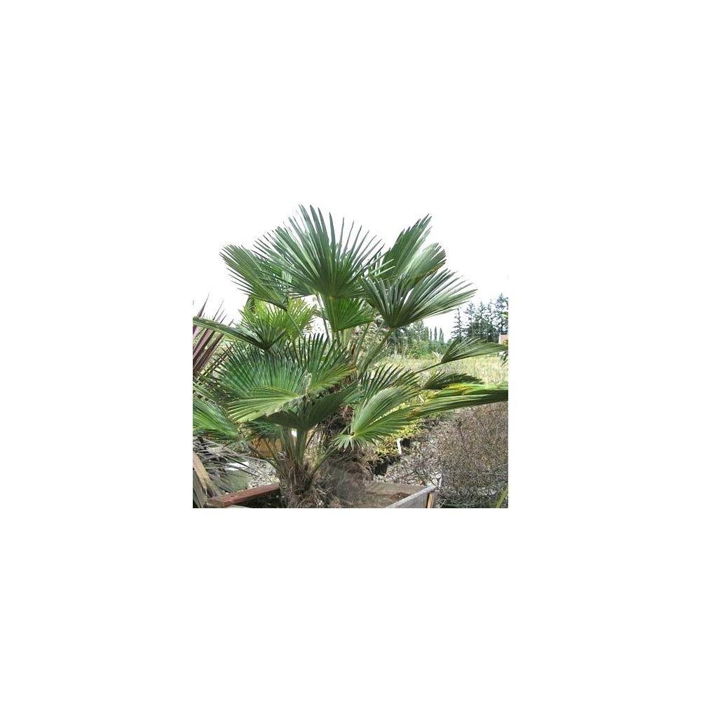 Palmier miniature de chusan plantes et jardins for Plantes et jardins