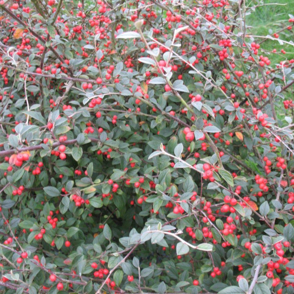 Cotoneaster franchetti plantes et jardins for Plante et jardins
