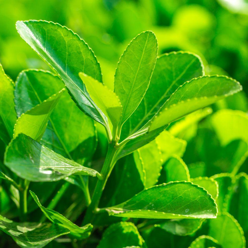 Fusain du japon 39 vert 39 plantes et jardins for Jardin du pic vert