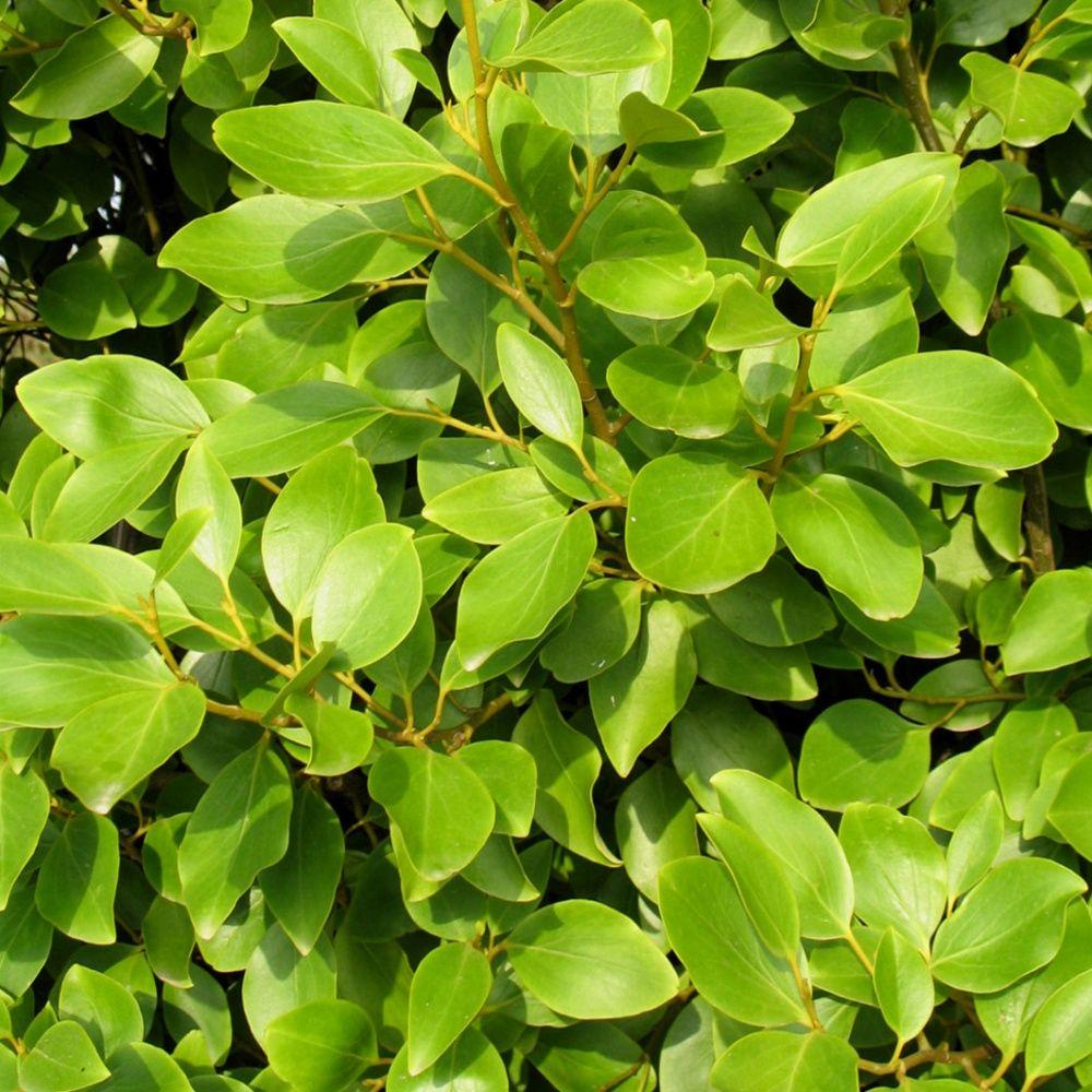 Griselinia du littoral plantes et jardins - Que planter en janvier ...