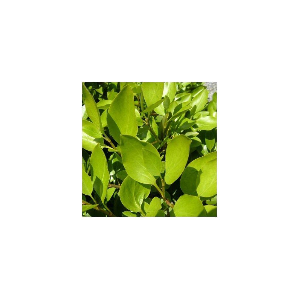Griselinia lucida plantes et jardins for Plantes et jardins