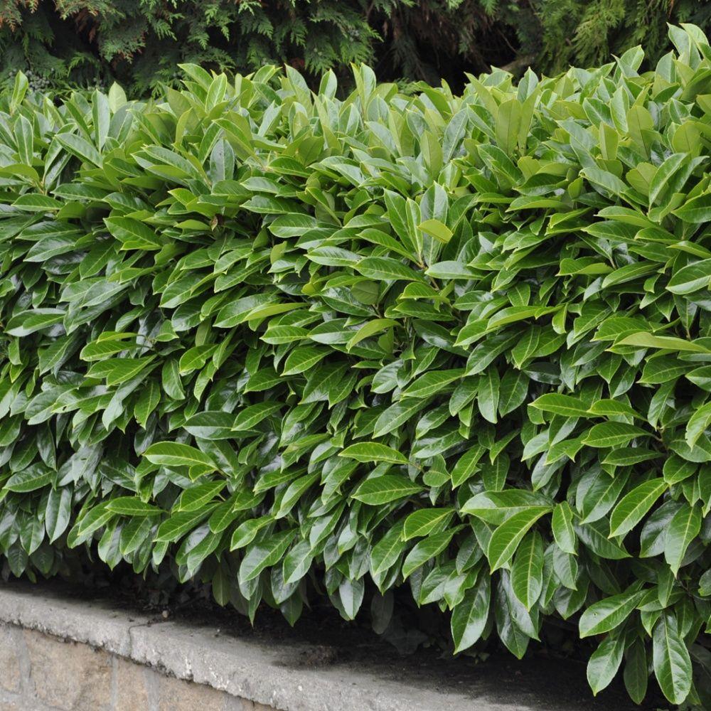 Laurier palme 39 caucasica 39 plantes et jardins - Prix sapin pour haie ...