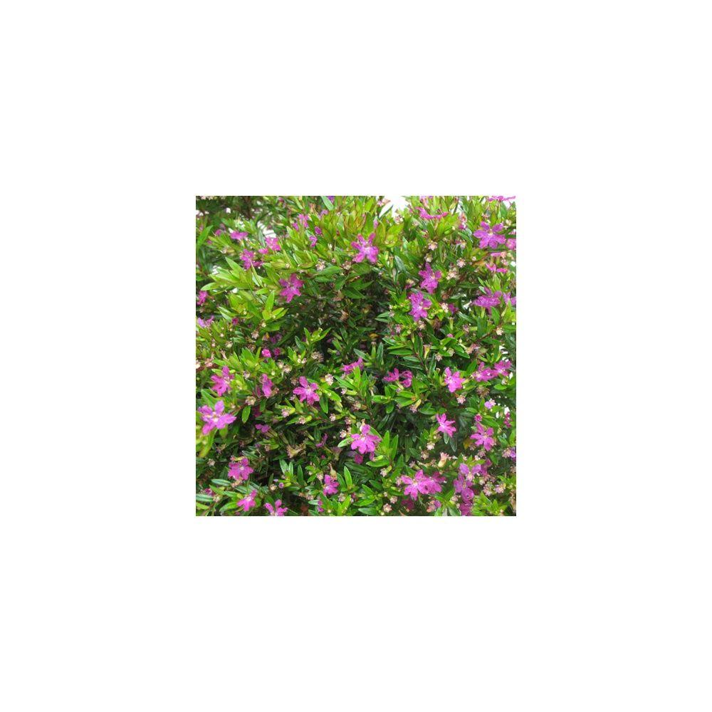 Bruy re du mexique plantes et jardins - Plante du mexique ...