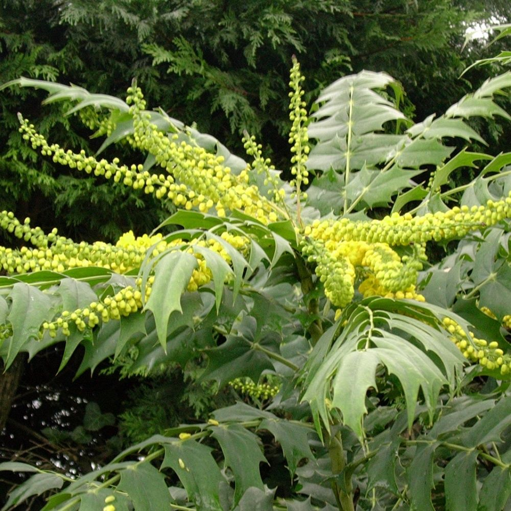 Mahonia media 39 charity 39 plantes et jardins - Www plantes et jardins com ...