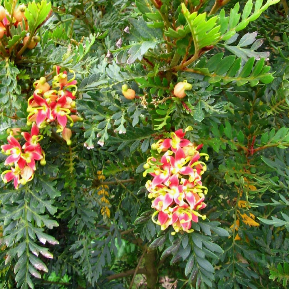 Lomatia rouille plantes et jardins for Plantes et jardins