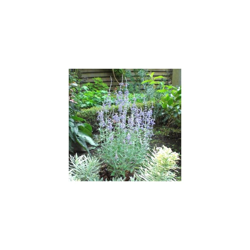 Perovskia 39 blue spire 39 plantes et jardins for Plantes et jardins