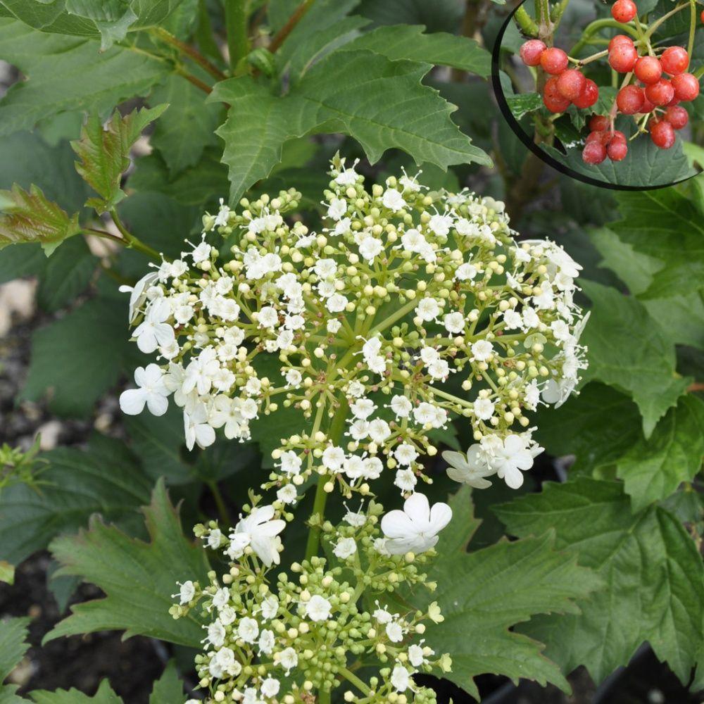Viorne boule de neige 39 compactum 39 plantes et jardins - Boule de neige plante ...
