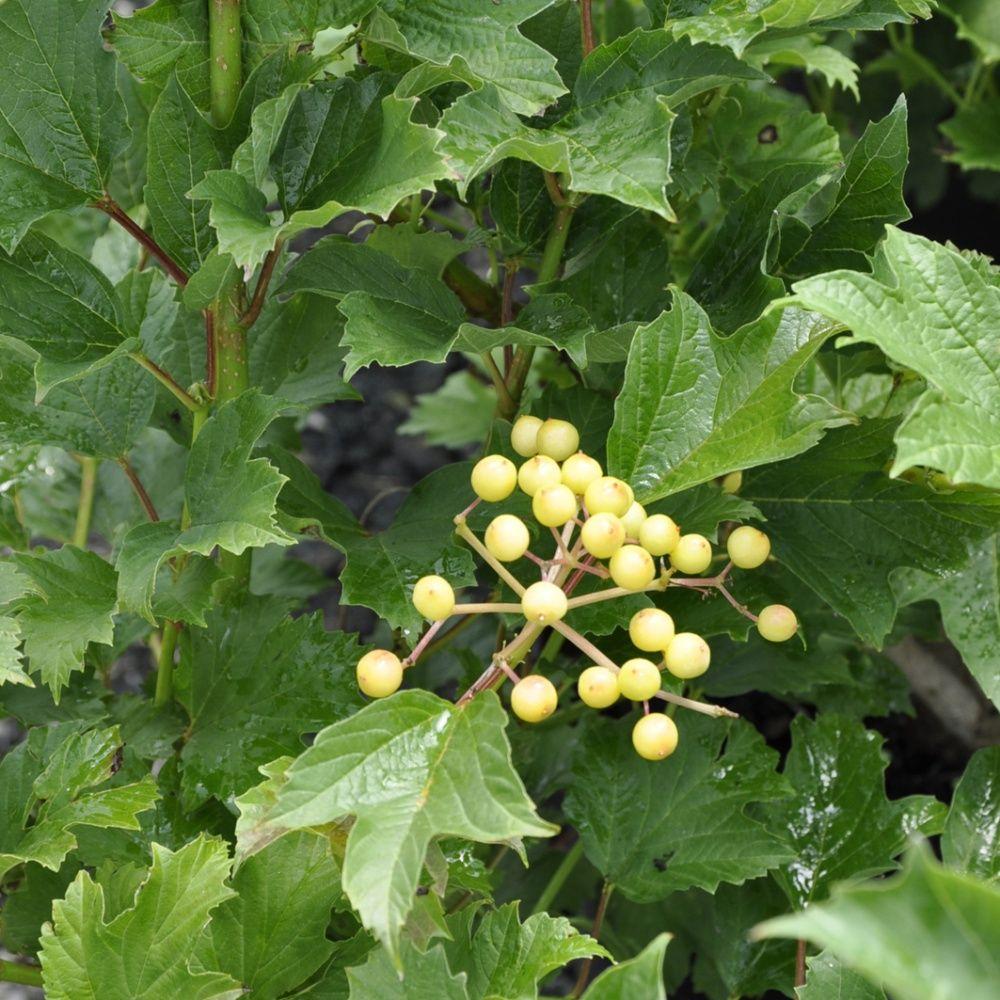 Viorne boule de neige 39 xanthocarpum plantes et jardins - Boule de neige plante ...