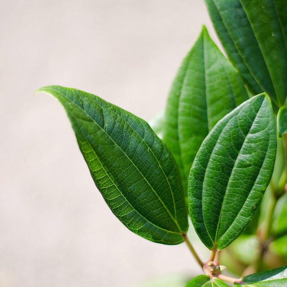 Viorne de david plantes et jardins for Achat plante jardin