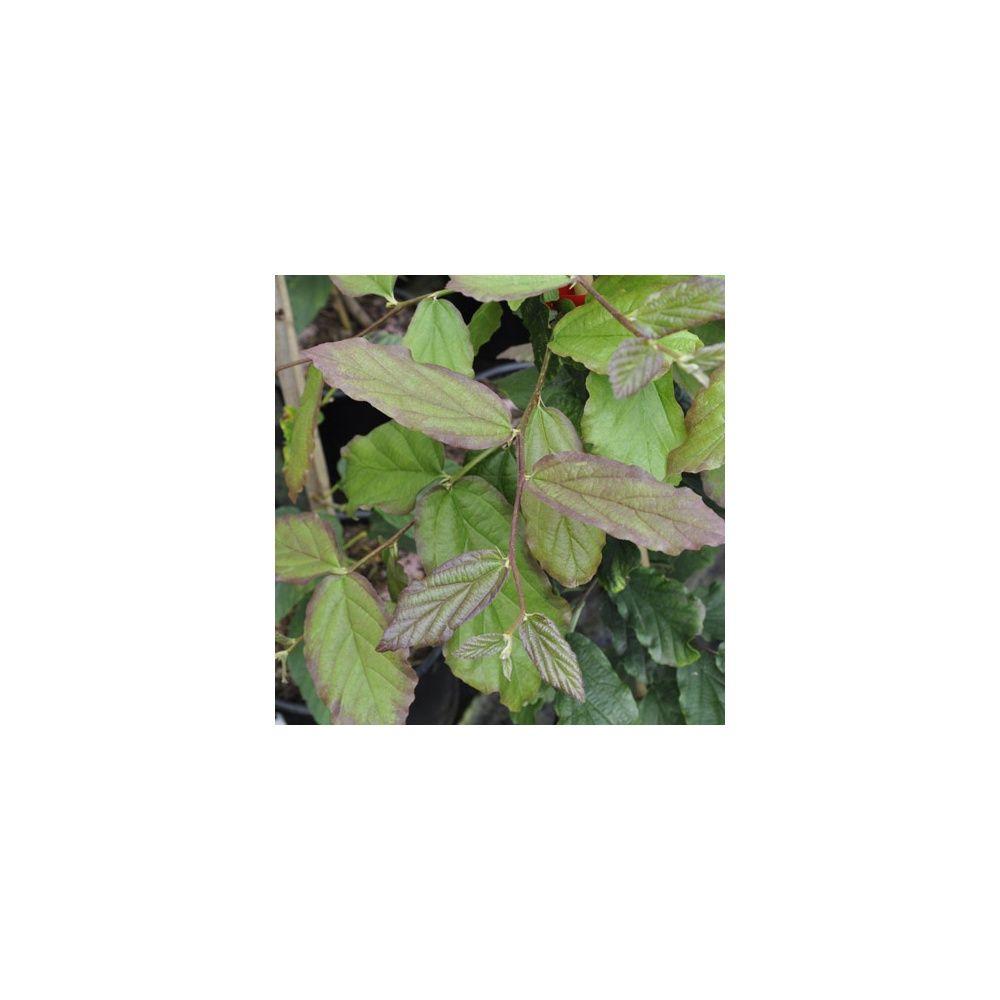 Parrotie de perse plantes et jardins for Plante et jardins