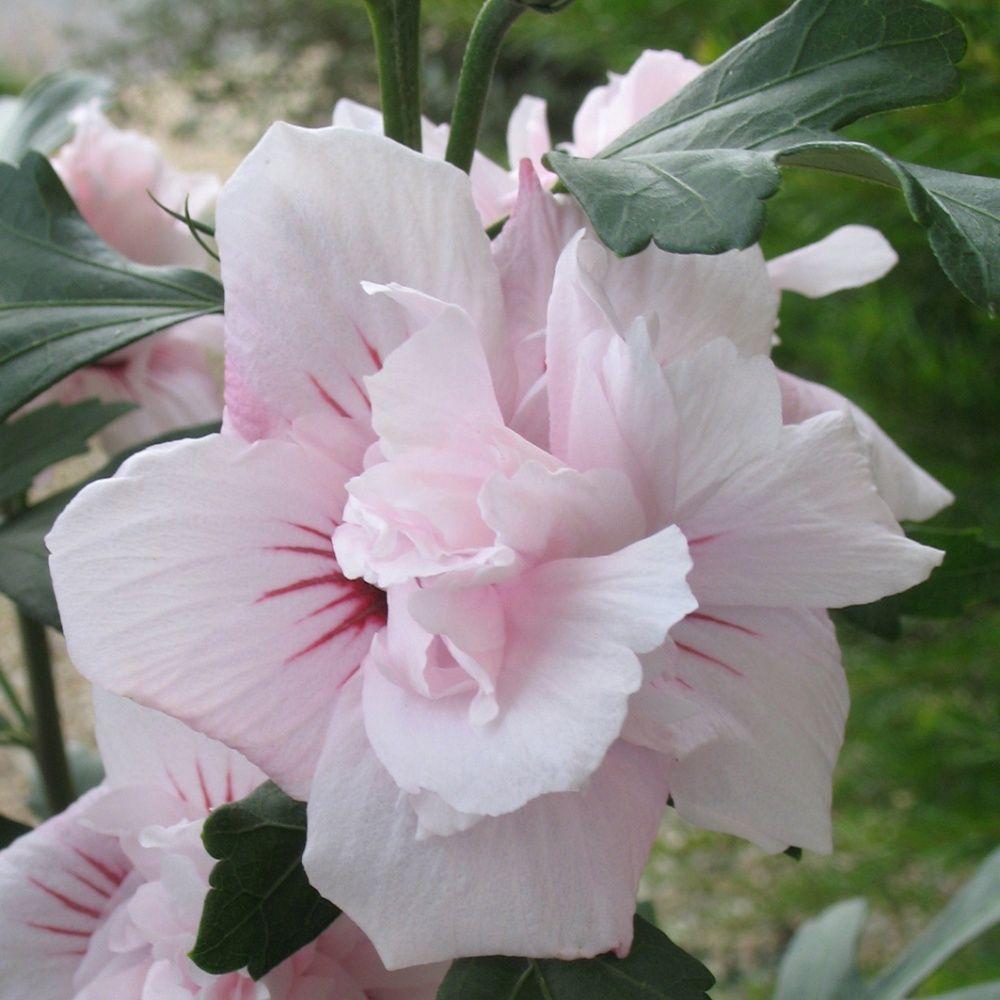Hibiscus syriacus 39 salima 39 plantes et jardins for Arrosage hibiscus exterieur