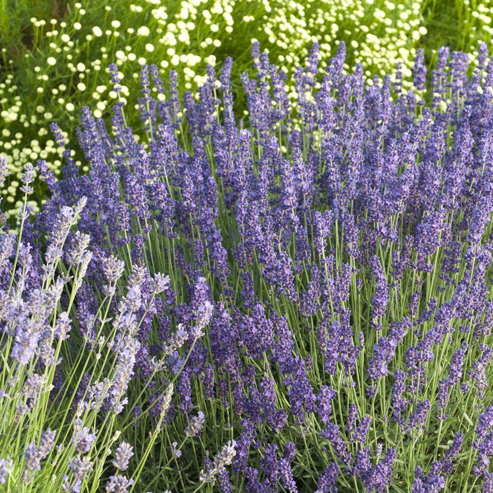 Lavande vraie 39 hidcote blue 39 plantes et jardins - Entretien de la lavande ...