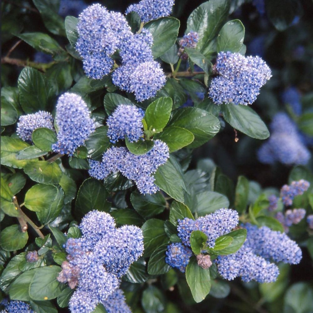 c anothe 39 ray trewithen blue 39 plantes et jardins. Black Bedroom Furniture Sets. Home Design Ideas