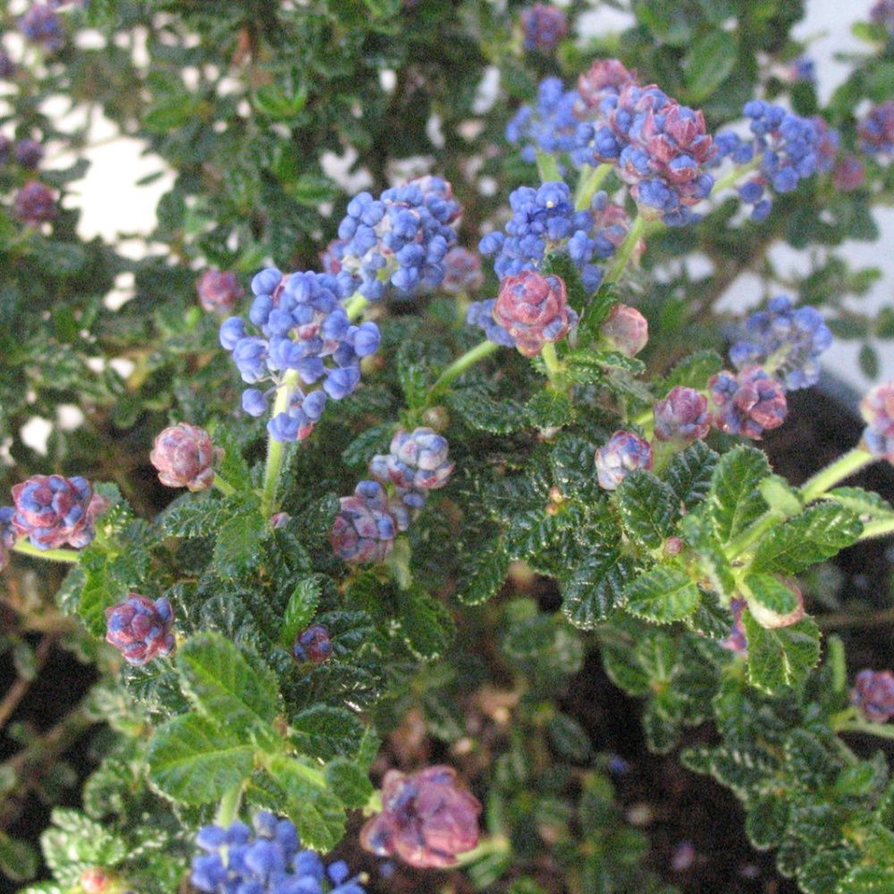 c anothe de santa barbara 39 puget blue 39 plantes et jardins. Black Bedroom Furniture Sets. Home Design Ideas