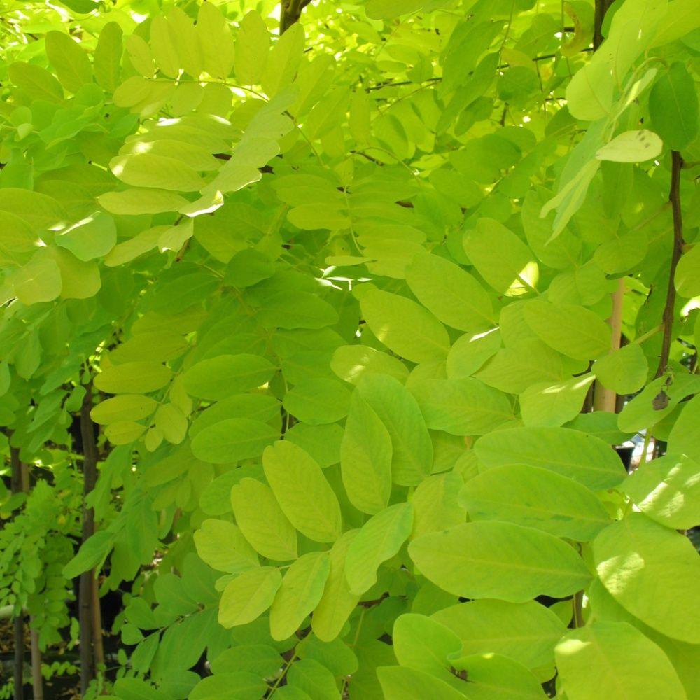 Robinier faux acacia 39 frisia 39 plantes et jardins for Plante 150 maladies madagascar