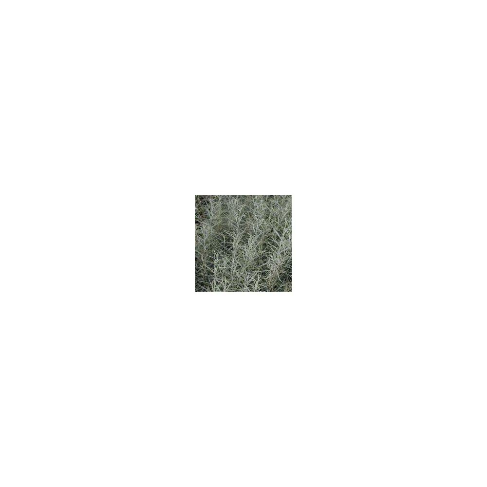 saule feuilles de romarin plantes et jardins. Black Bedroom Furniture Sets. Home Design Ideas