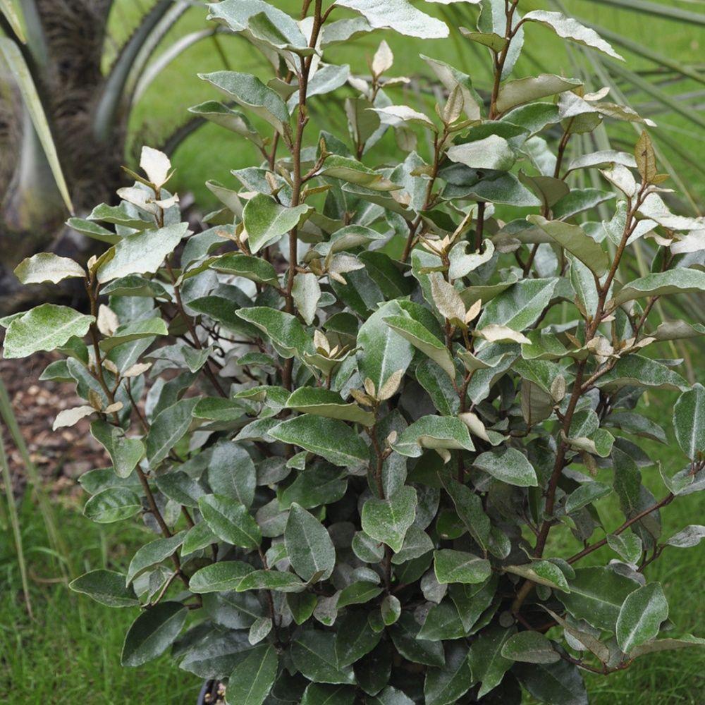 Elaeagnus ebbingei 39 compacta 39 plantes et jardins for Eleagnus maladie feuilles jaunes