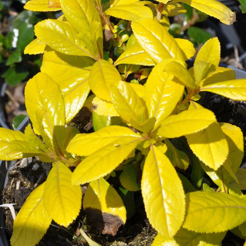 escallonia organiensis 39 aurea 39 plantes et jardins. Black Bedroom Furniture Sets. Home Design Ideas