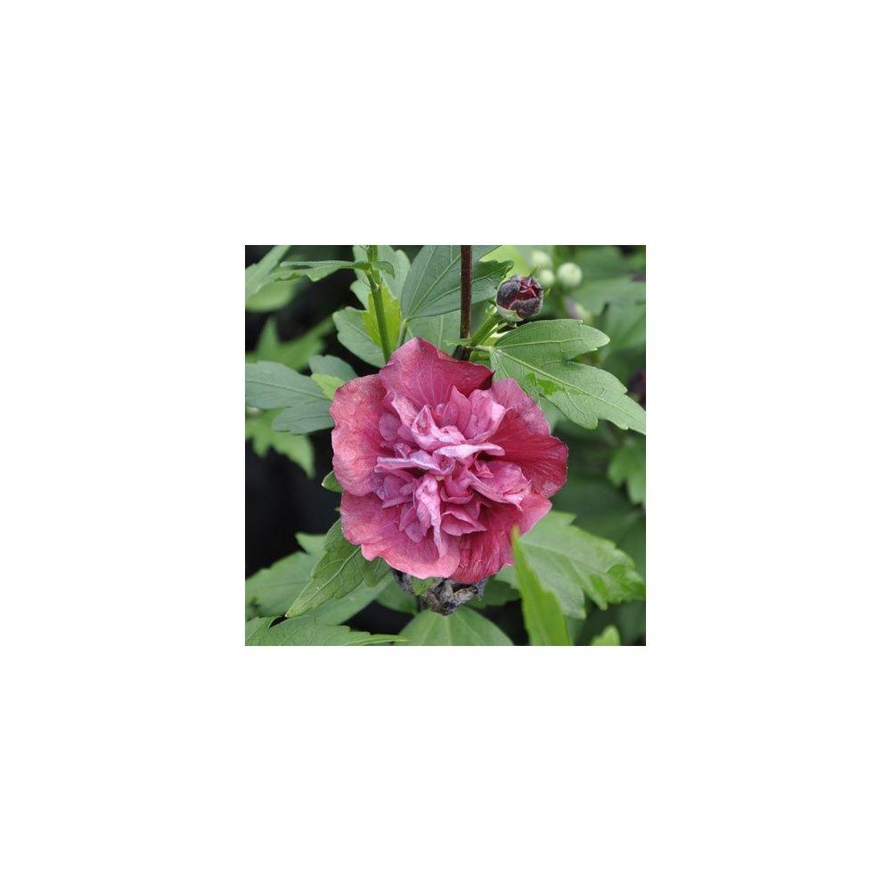 hibiscus syriacus ufreedomu with hibiscus de jardin persistant. Black Bedroom Furniture Sets. Home Design Ideas