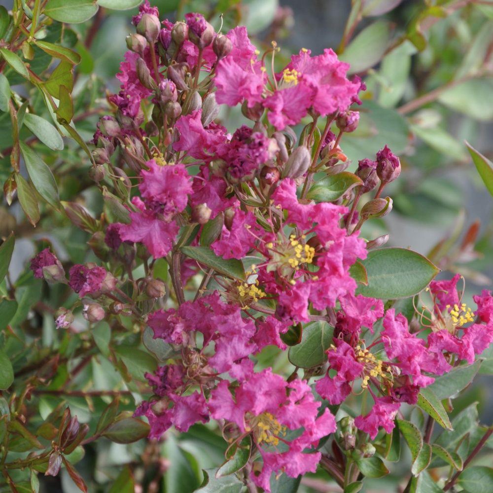 Lilas des indes 39 petite pink 39 plantes et jardins - Le lilas des indes ...
