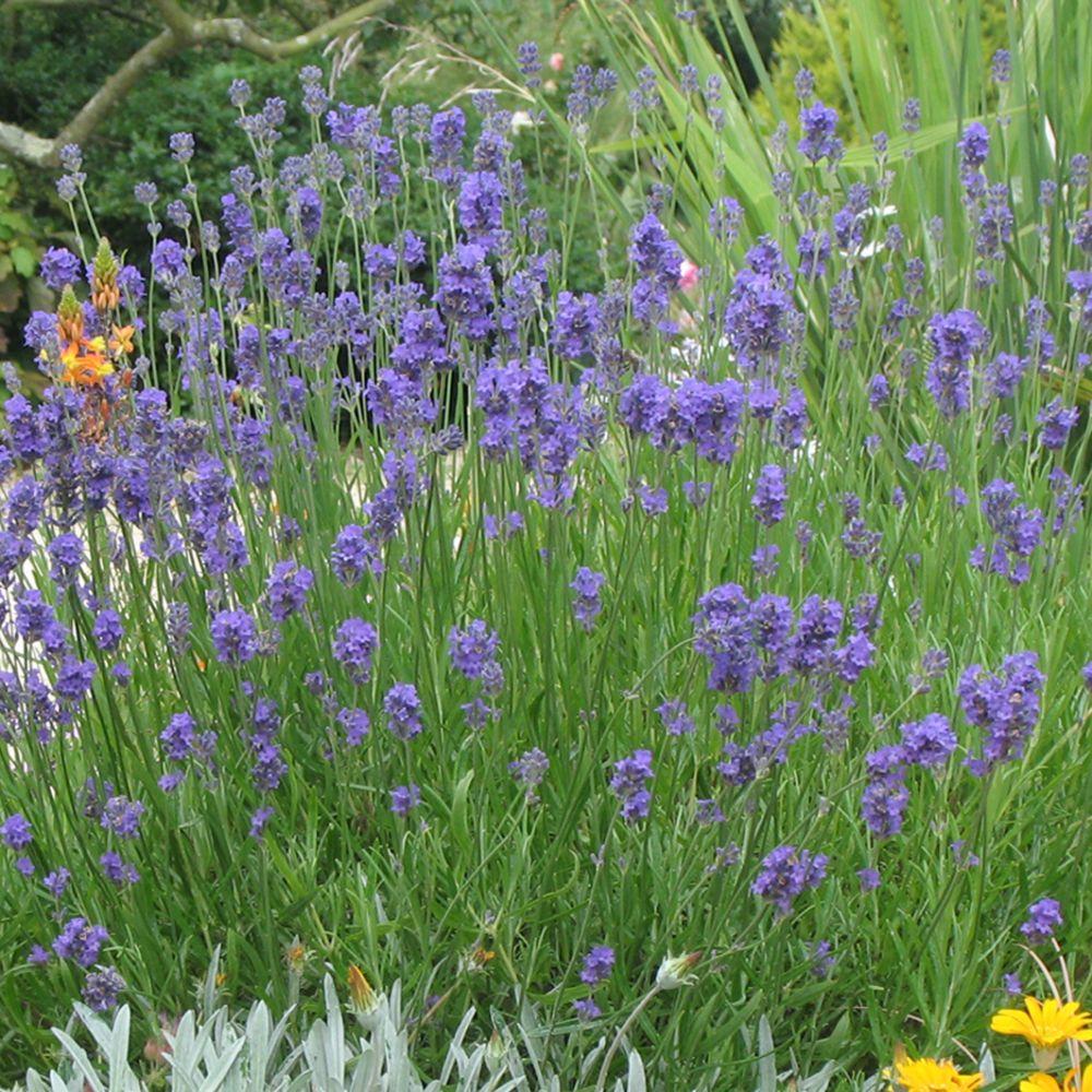 lavande vraie 39 hidcote blue 39 plantes et jardins. Black Bedroom Furniture Sets. Home Design Ideas