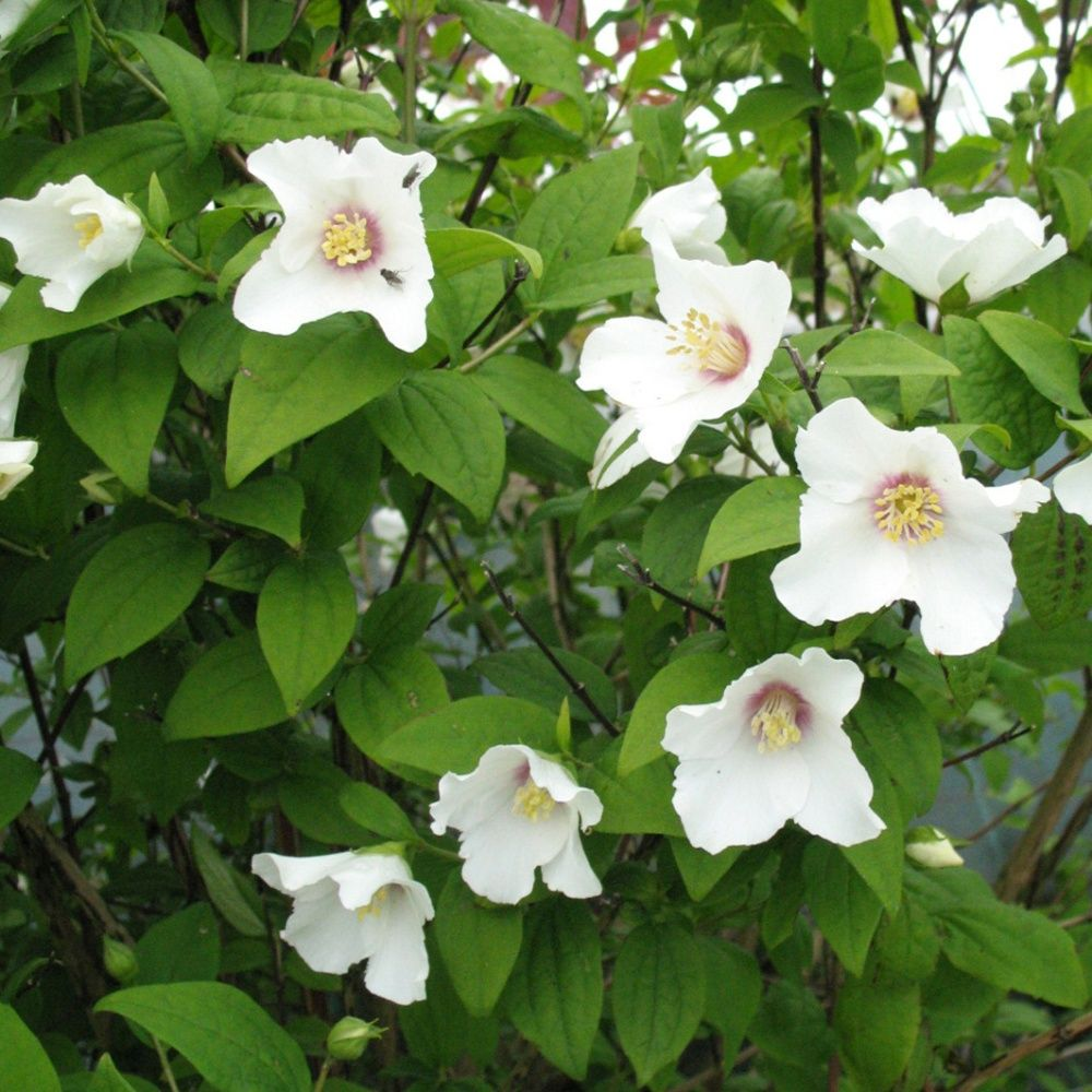 Seringat 39 belle toile 39 plantes et jardins for Plantes et arbustes de jardin