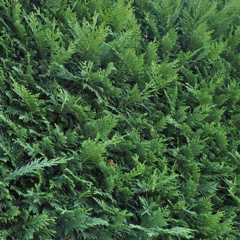 Cypr s de leyland fastigi plantes et jardins - Cypres de leyland plantation ...