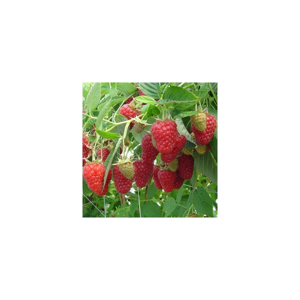 Framboisier 39 tulameen 39 plantes et jardins for Plantes et jardins adresse