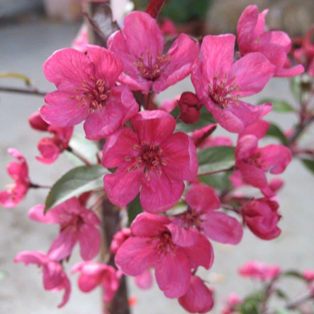 Pommier d 39 ornement 39 prairie fire 39 plantes et jardins for Plantes ornement jardin