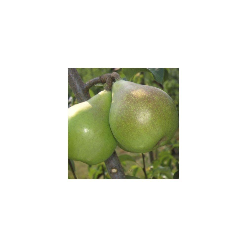 Poirier doyenne du comice taille en gobelet plantes et - Taille du poirier william ...