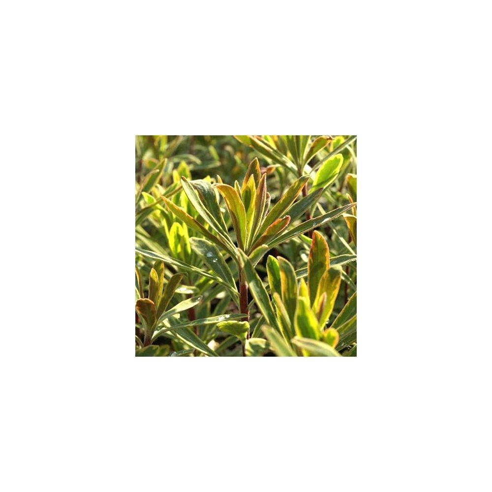 Euphorbe 39 ascot rainbow 39 plantes et jardins for Plantes et jardins
