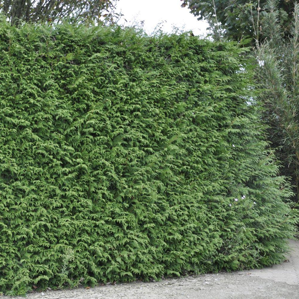 Thuya g ant 39 atrovirens 39 plantes et jardins - Quand ramasser les potimarrons ...