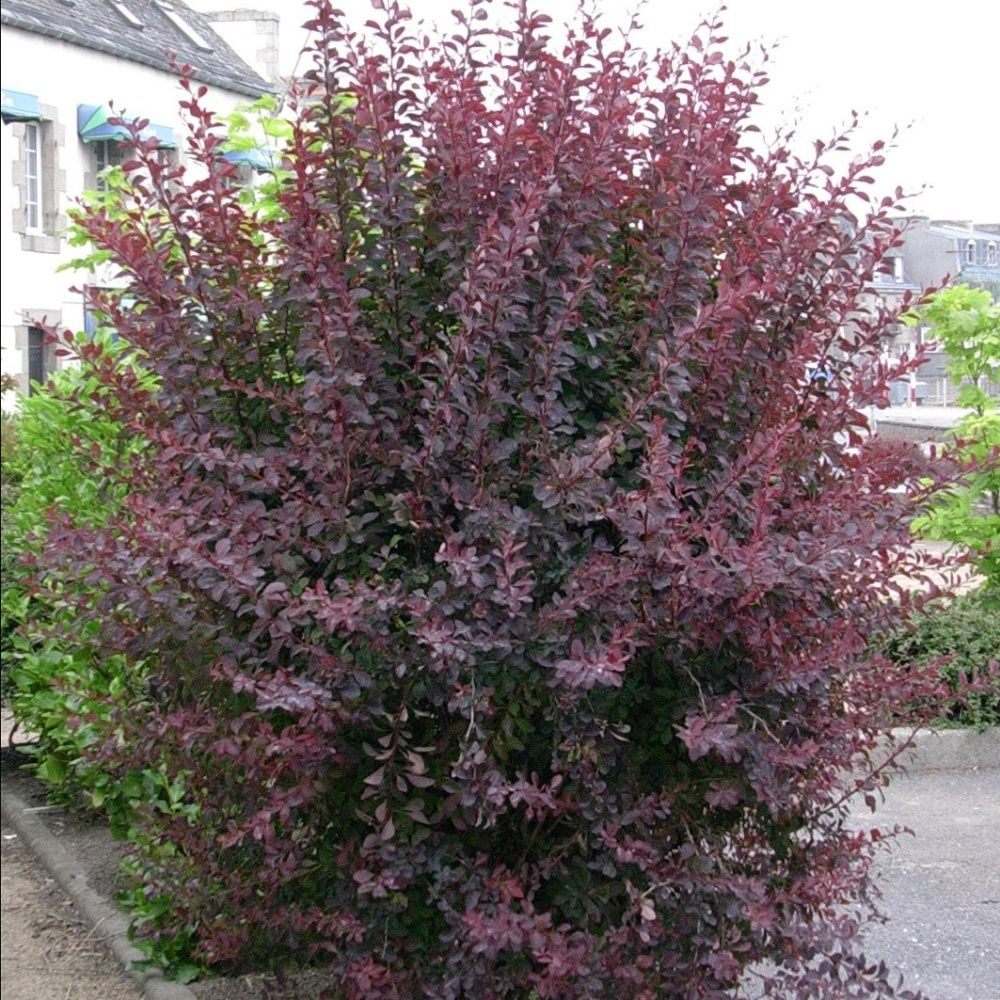 berb ris de thumberg 39 atropurpurea 39 plantes et jardins. Black Bedroom Furniture Sets. Home Design Ideas