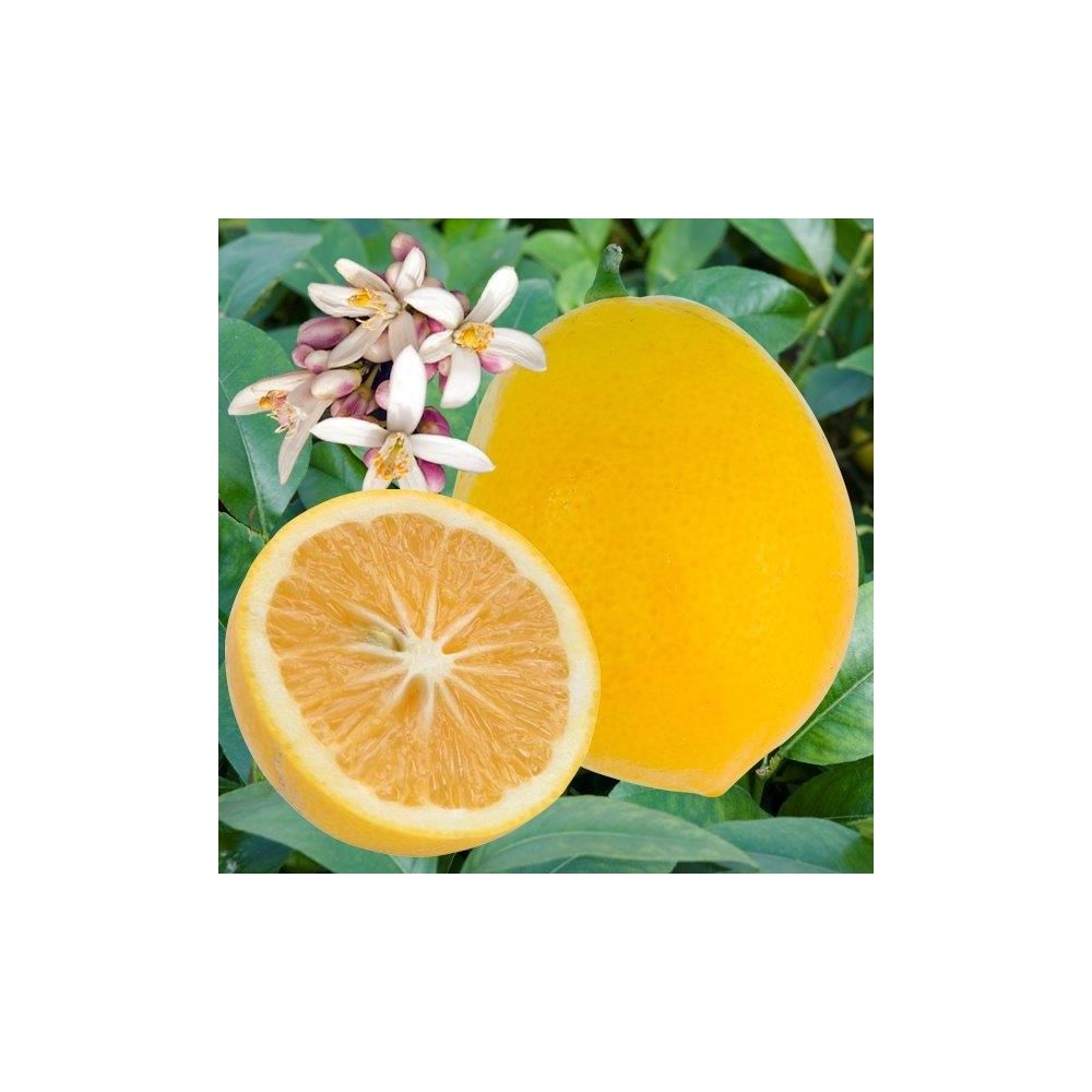 citronnier 39 meyer 39 plantes et jardins. Black Bedroom Furniture Sets. Home Design Ideas