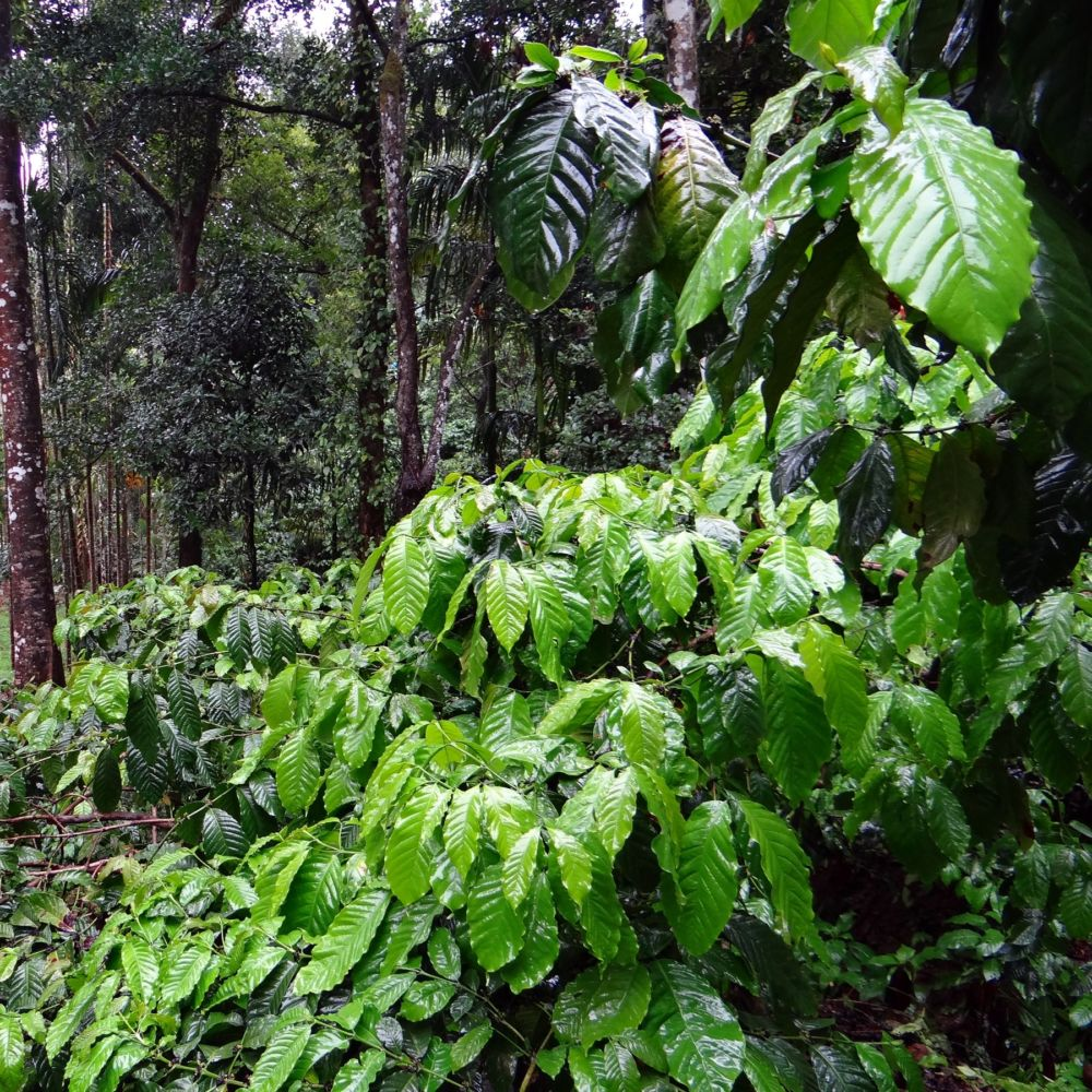 Caf ier plantes et jardins for Plantes et jardins adresse