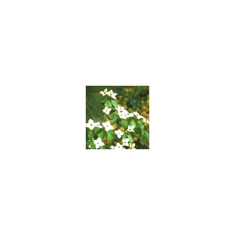 Cornouiller florida grandes fleurs plantes et jardins for Fleurs plantes et jardins