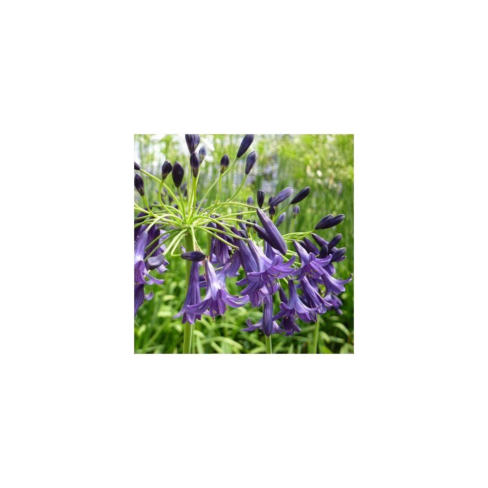 Agapanthe 39 indigo dreams 39 plantes et jardins for Plante et jardins