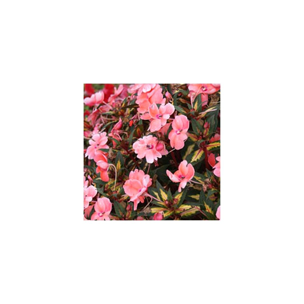 Impatiens sunpatiens 39 abricot ensoleill 39 plantes et jardins - Planter un noyau d abricot ...